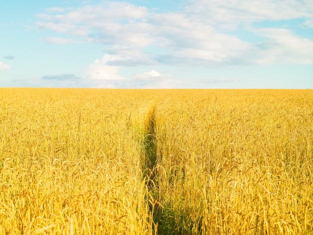 Cielo blu del raccolto fresco giallo del campo di grano con il paesaggio di superficie naturale di estate di giorno pieno di sole delle nuvole