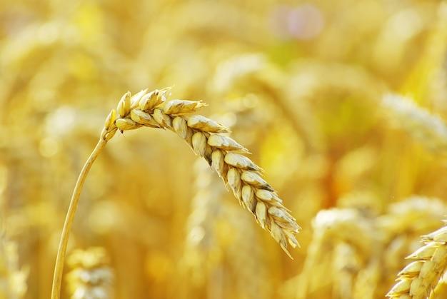 Grano pronto per il raccolto che cresce in un campo di fattoria