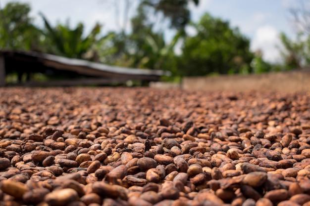 Granos de cacao secados al sol