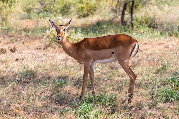 La grant gazelle sfiora la vastità della savana keniota