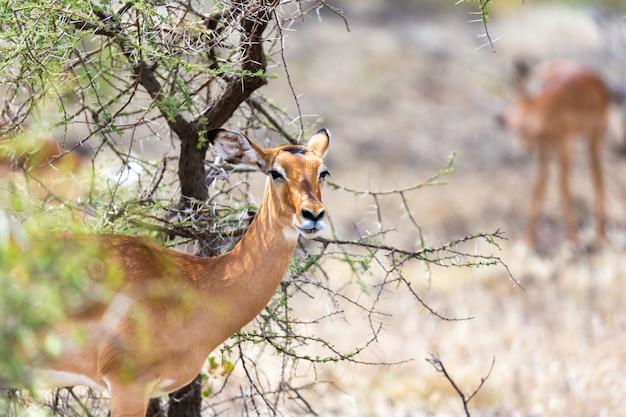 La gazzella di grant sfiora la vastità della savana del kenya