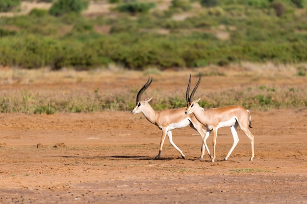 Grant gazelle nella savana del kenya