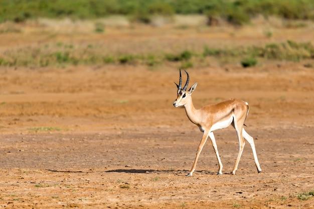 Una grant gazelle si trova nel mezzo del paesaggio erboso del kenya