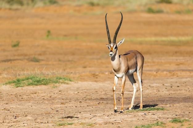 Grant gazelle si trova nel mezzo del paesaggio erboso