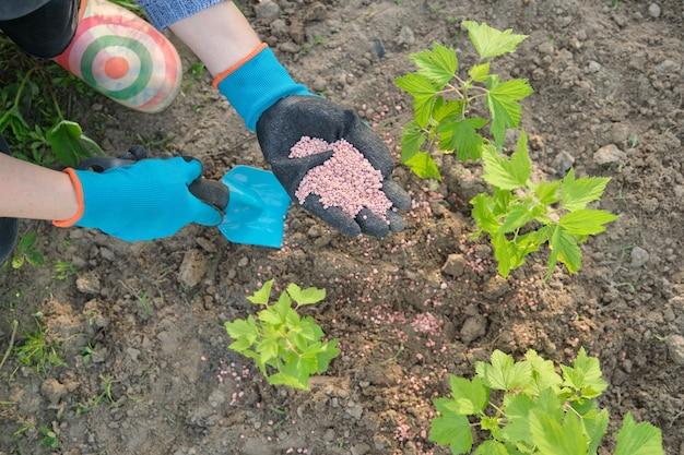 Fertilizzante di granuli nelle mani del giardiniere donna. lavori primaverili in giardino, concimazione piante, cespugli di bacche di ribes nero