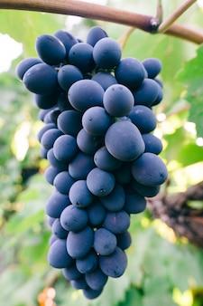 Fine della bacca della frutta dell'uva su con le foglie