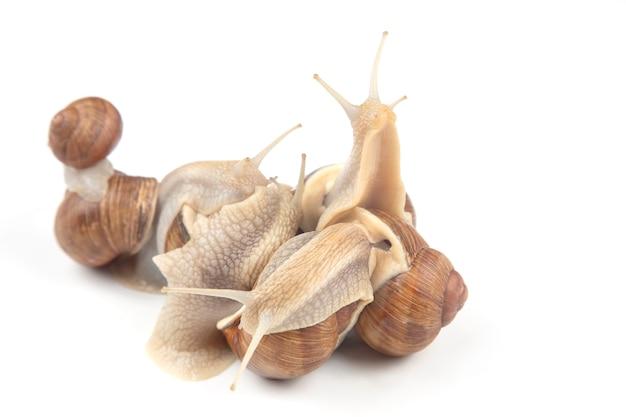 Chiocciola d'uva, molluschi e invertebrati. cibo a base di carne proteica gourmet. comunicazione dell'individuo nella società