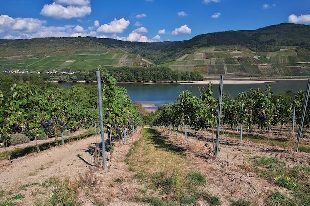 Albero di uva nella valle del reno nella germania occidentale