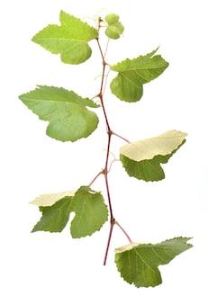 Vite d'uva