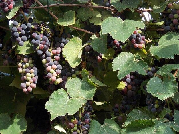 Le piante del vigneto d'uva da vicino