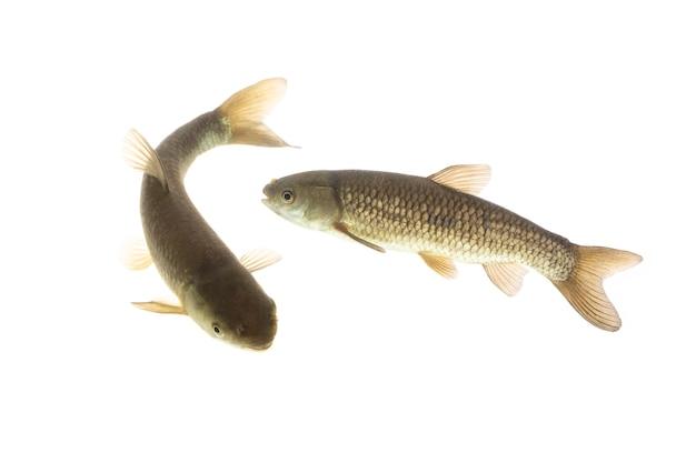 Pesce carpa erbivora che nuota sott'acqua isolato su sfondo bianco