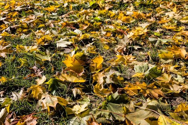 Erba e terra cosparsa di foglie di acero strappate dal vento durante le foglie, sfondo astratto naturale