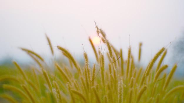 Estate all'aperto del fiore dell'erba. pianta di tife bellezza