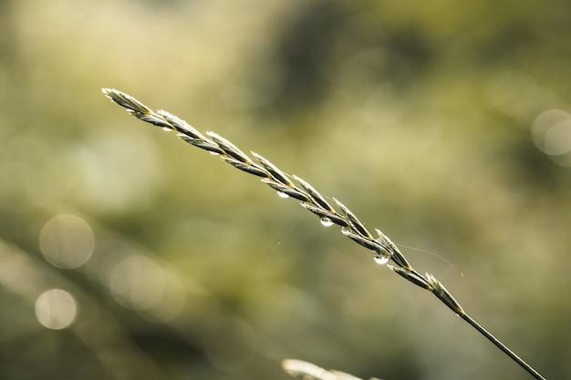 Erba. l'erba verde fresca della sorgente con il primo piano delle gocce di rugiada. sole. focalizzazione morbida. natura astratta sfondo