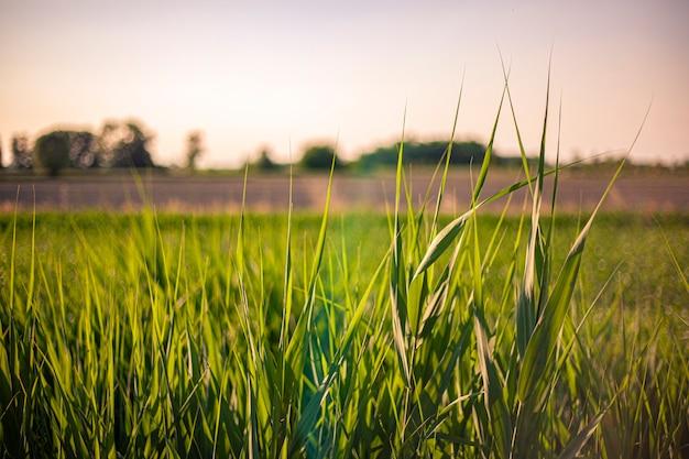 Macro di erba scattata all'ora del tramonto in italia