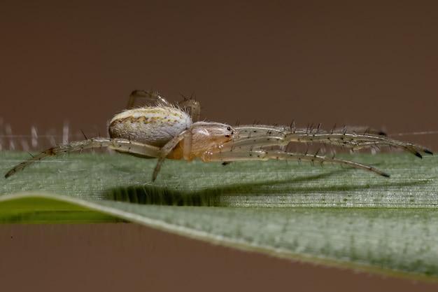 Erba neoscona ragno della specie neoscona moreli