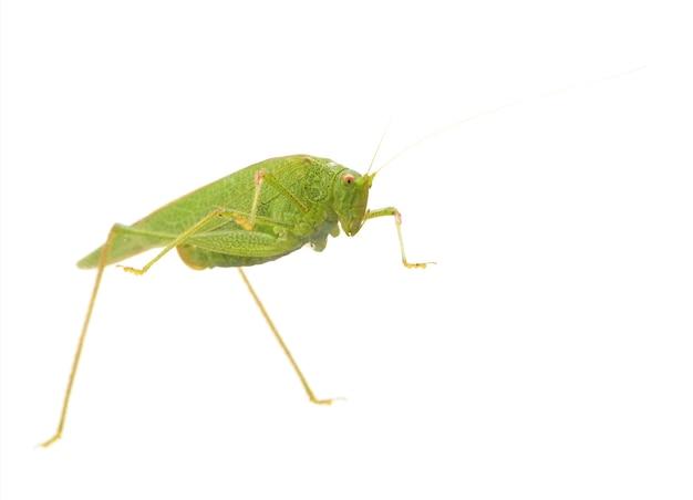 Animale insetto cavalletta su bianco