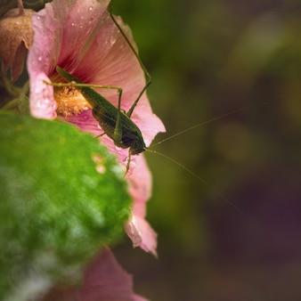 Insetto cavalletta su un grande fiore di malva rosa