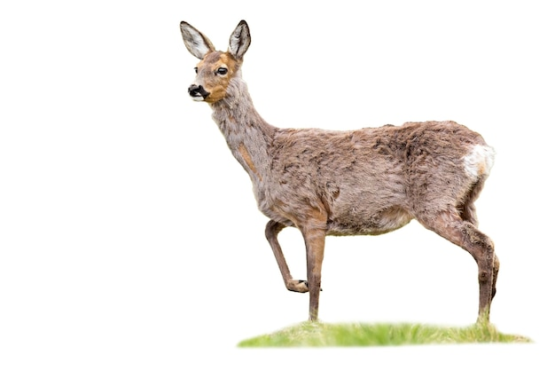Capriolo gravido doe in piedi sull'erba ritagliata su bianco