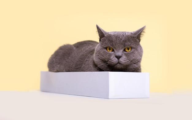 Il gatto britannico grigio si trova in una scatola leggera stretta