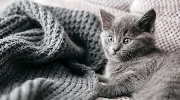 Gatto di razza britannico grigio si trova sul divano ritratto di bellissimo gattino lanuginoso di colore del mantello grigio in casa accogliente da solo spaventato animale mammifero animale domestico lungo banner web
