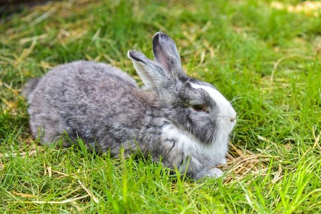 Coniglietto grigio che si siede sull'erba verde. grande lepre grigia adulta su erba verde.