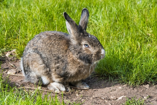 Coniglietto grigio che si siede sull'erba verde. grande lepre grigia adulta con orecchie lunghe in piena crescita sull'erba verde. coniglio che mangia su un prato inglese dell'erba verde.