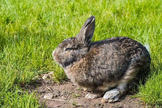 Coniglietto grigio che si siede sull'erba verde. grande lepre grigia adulta con le orecchie lunghe sull'erba verde.