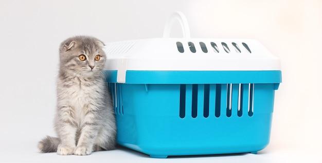 Gatto grigio con custodia su sfondo blu. gatto scottish fold.