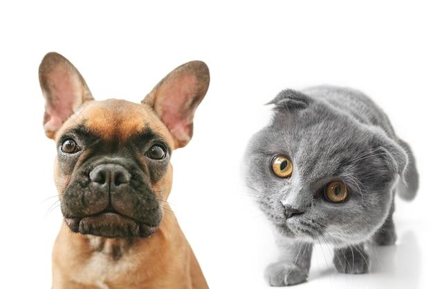 Gatto e cane grigi con bellissimi occhi su sfondo bianco