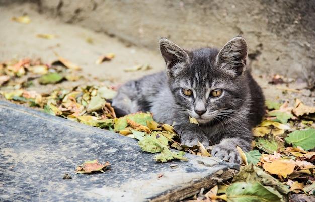 Gatto grigio in foglie cadute. gattino grigio