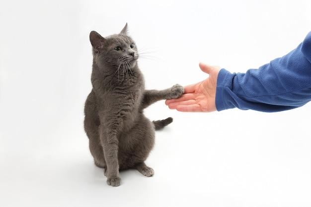 Il gatto grigio dà una zampa nel palmo della persona