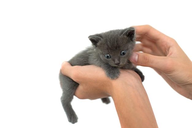 Gatto grigio nelle mani su uno sfondo bianco isolare. gattino neonato di razza britannica con occhi azzurri e capelli grigi