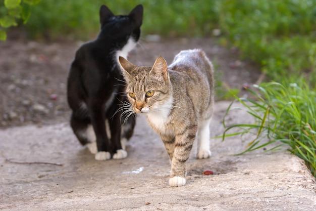 Un gatto grigio sta camminando lungo una lastra di cemento e un secondo gatto nero è seduto dietro la sua testa. vicino all'erba verde. luce del giorno. focus selettivo, su un gatto grigio.