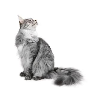 Gatto grigio isolato su superficie bianca