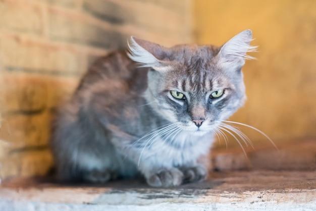 Gatto grigio guardando avanti