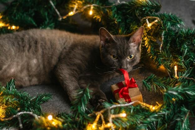 Gatto grigio sdraiato accanto a rami di abete e cappello di babbo natale, ghirlanda di luci. accogliente casa per natale.
