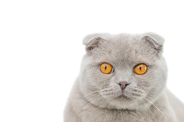 Gatto grigio scozzese scottish fold ritratto isolare
