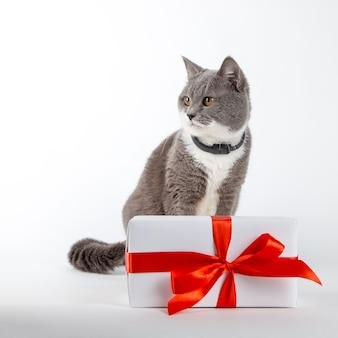 Un gatto grigio si siede vicino a un regalo con nastro rosso su bianco. il concetto di congratulazioni in vacanza, san valentino, festa della donna.
