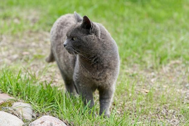 Un gatto grigio cammina sull'erba verde in una giornata estiva. ritratto di un soffice gatto grigio a passeggio