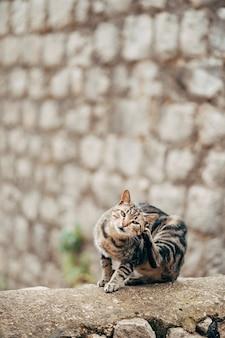 Un gatto grigio con strisce nere si gratta dietro l'orecchio