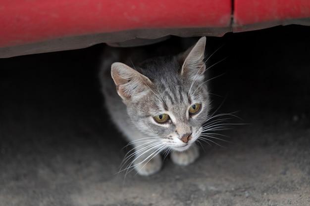 Il gatto grigio con gli occhi verdi e il naso strappato guarda fuori da sotto il concetto di sicurezza degli animali senza tetto dell'auto