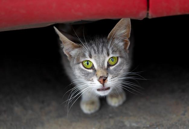 Il gatto grigio con gli occhi verdi e il naso strappato guarda fuori da sotto l'auto concetto di animali senzatetto