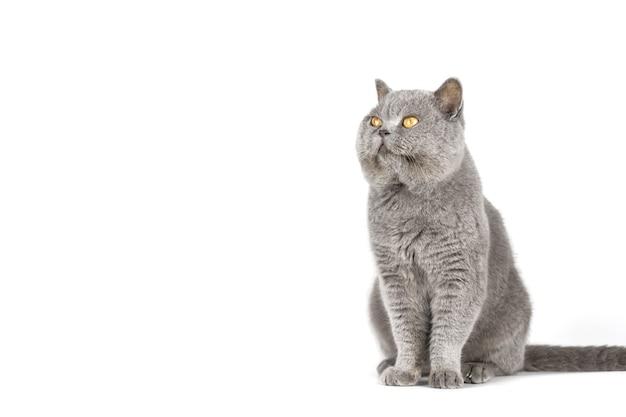 Gatto grigio con gli occhi gialli su uno spazio bianco isolato della copia della parete.