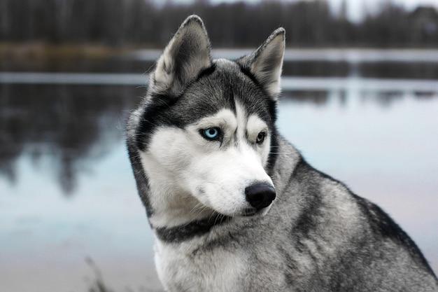 Razza di cane grigio husky vicino a mezzo giro sullo sfondo del lago d'autunno.