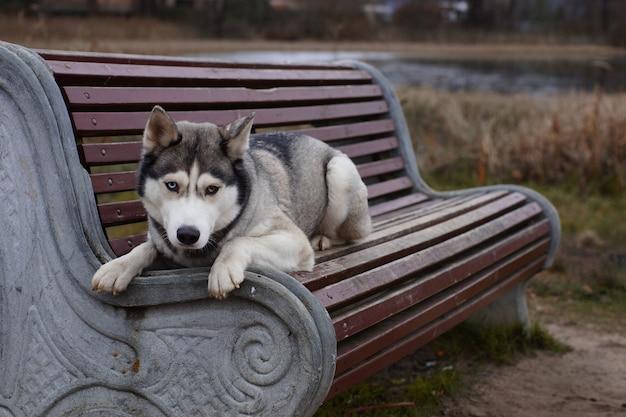Un cane grigio di razza husky con occhi di colore diverso si trova ed è triste in panchina.