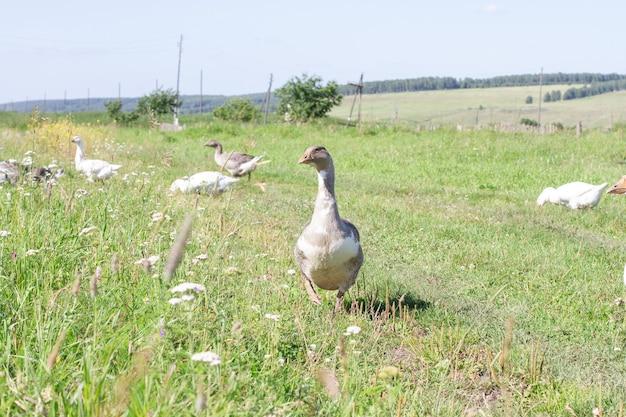 Le oche domestiche grigie pascolano nel prato. pollame in una fattoria in un villaggio.