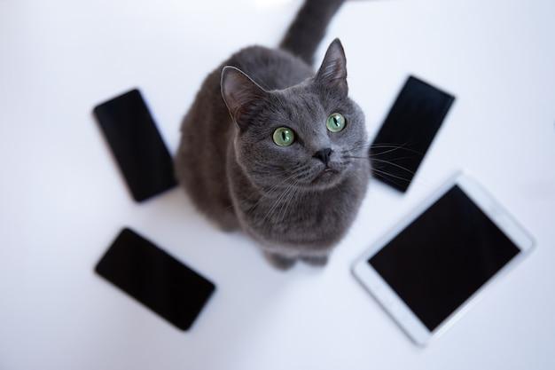 Il gatto lanuginoso grigio si siede su uno sfondo bianco con i telefoni cellulari e guarda in alto