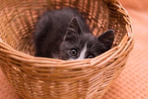 Un gattino grigio e soffice si siede in un cesto di vimini