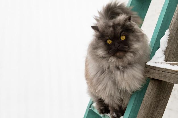 Gatto di procione lavatore principale lanuginoso grigio con gli occhi gialli che stanno sulle scale e che esaminano la macchina fotografica